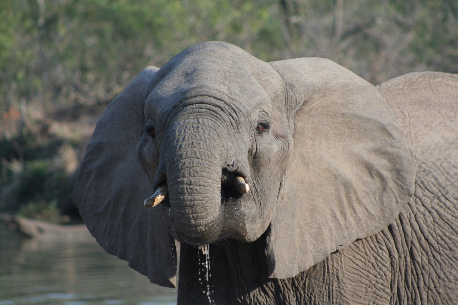 A close up of African elephant