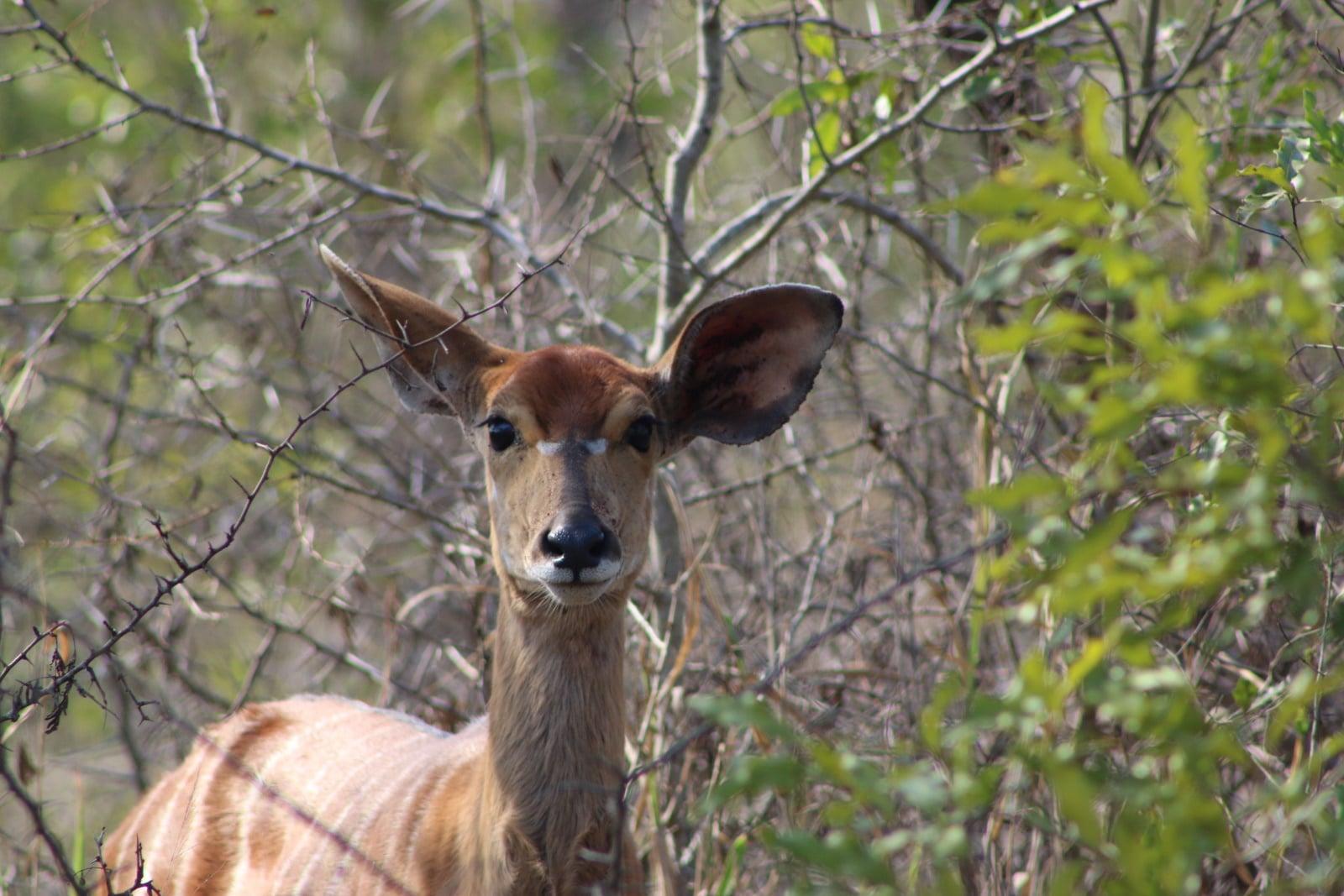 Nyala in South Africa