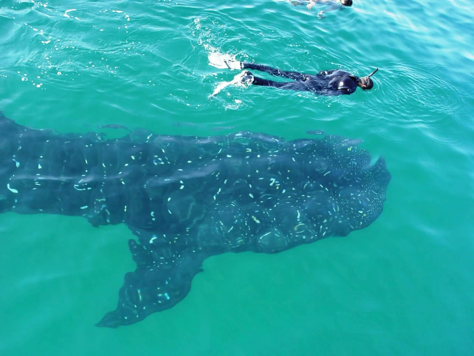 Diver swimming above a whale shark