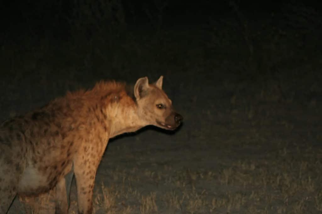 A Hyena in the dark