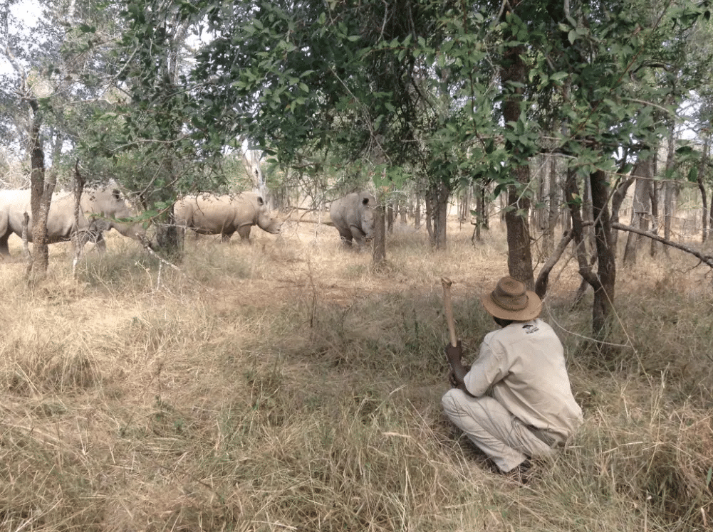 walking with rhino in Eswatini
