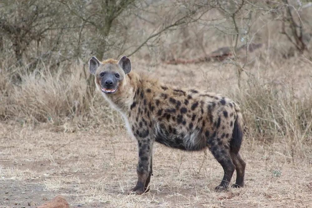 Hyena in Kruger National Park