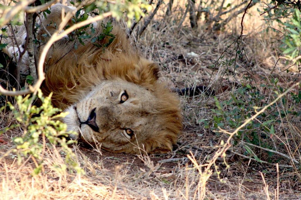 A male lion lying in the bush