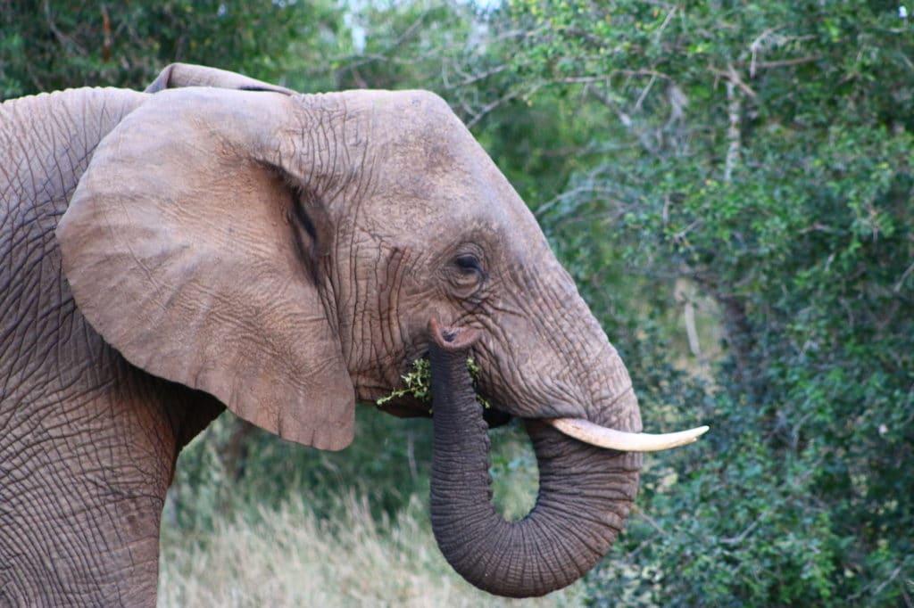 Hlane elephant close up eating greenery
