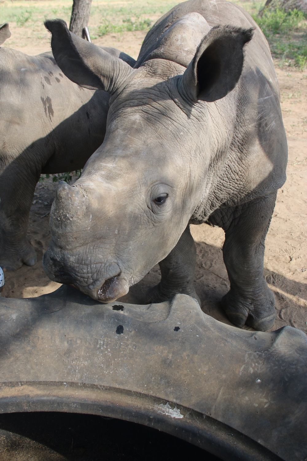 Young rhino investigating a tire