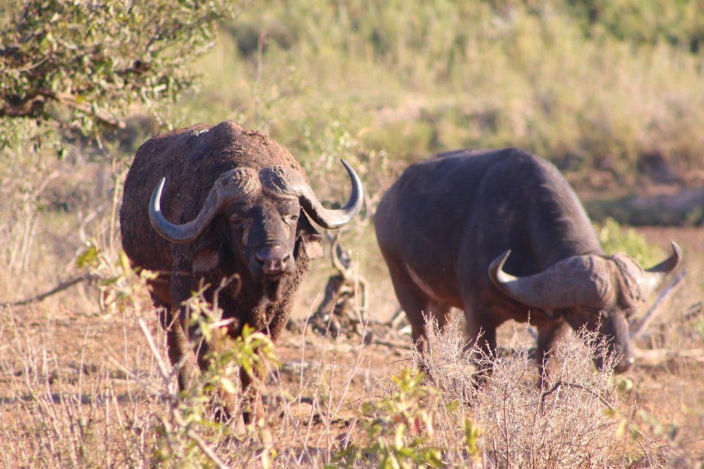 Two buffalo feeding