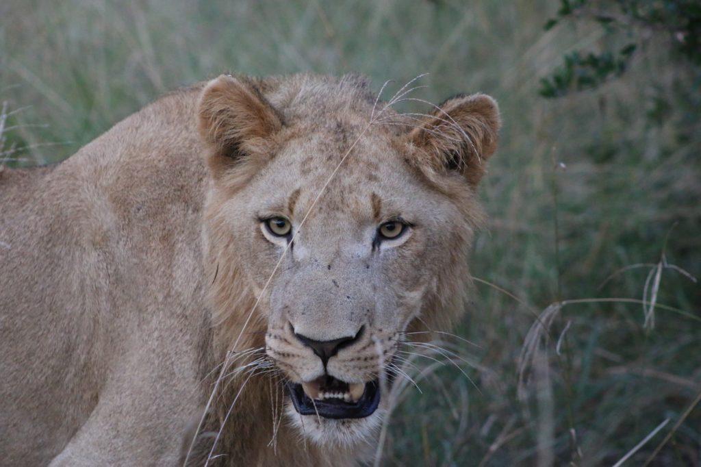 A closeup of a lioness