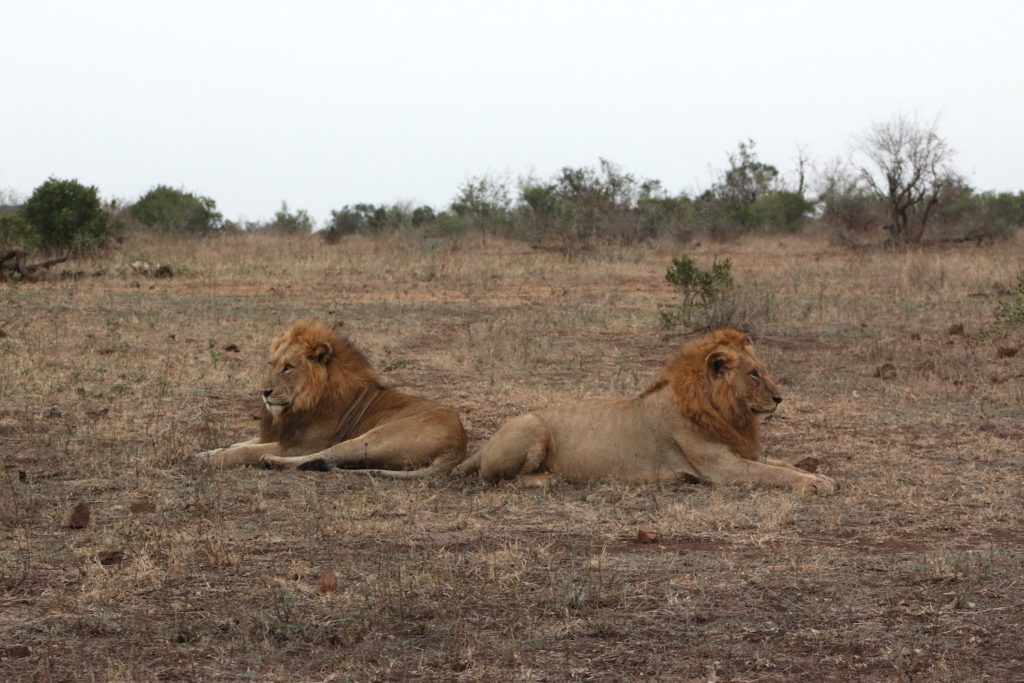 Two male lions sit facing opposite directions