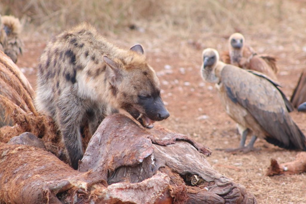 Hyena feeding while vultures look on