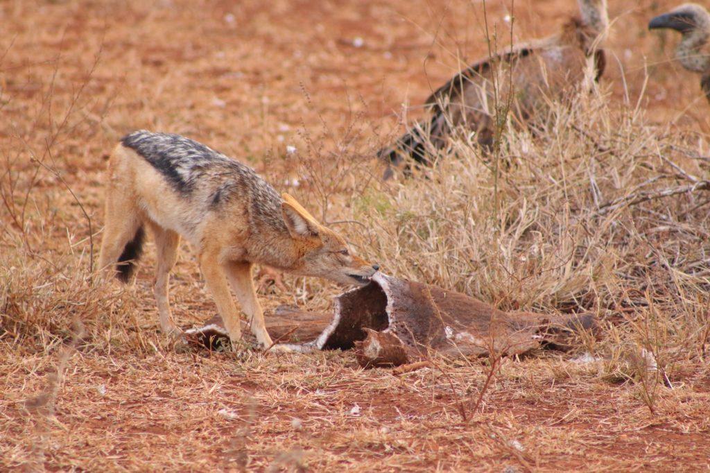 A jackal picking at a carcass