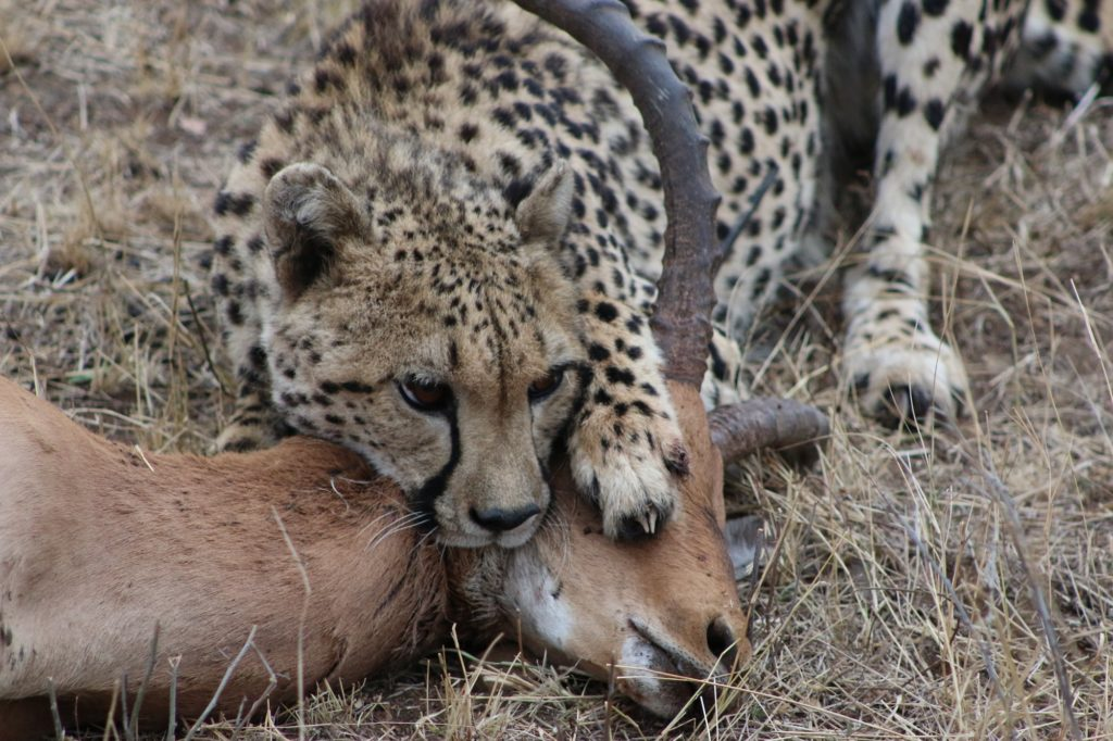 A leopard feasts on its prey