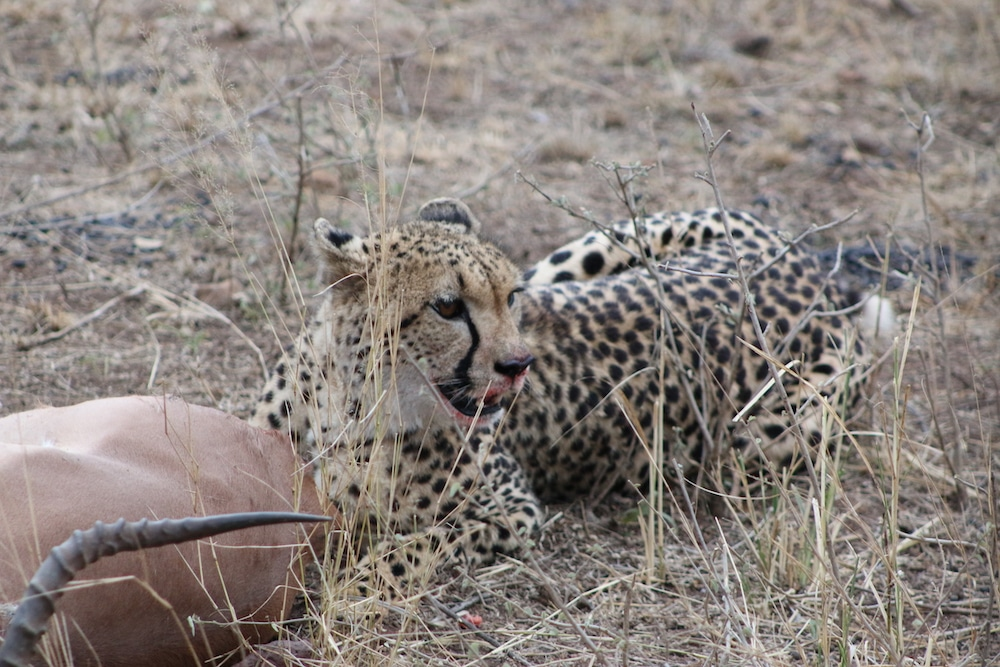 A leopard sits by its downed prey
