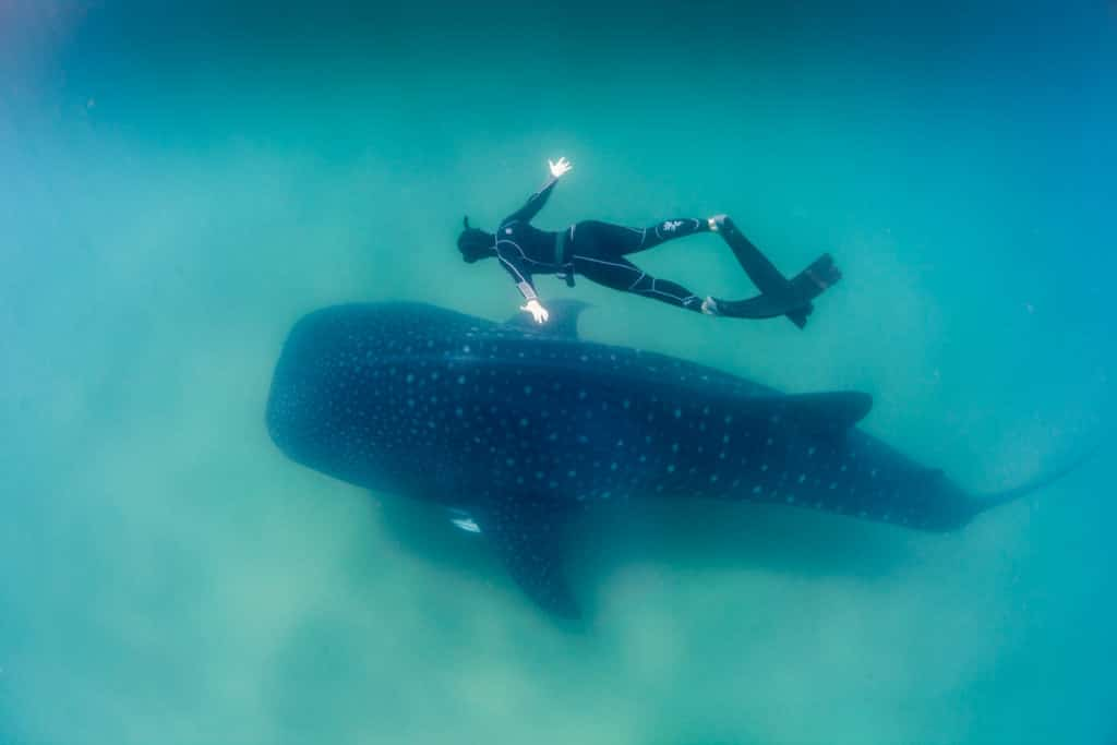 Whale shark with freediver. Credit: Fiona Ayers