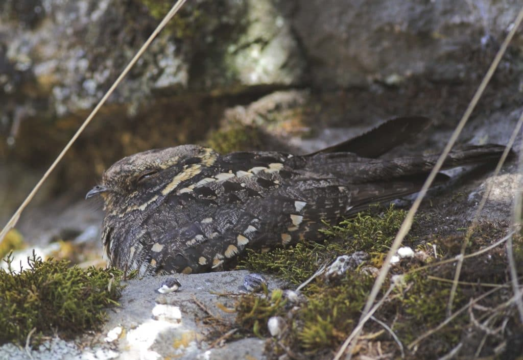 A montane nightjar, or the Abyssinian nightjar, often found in eastern and central africa