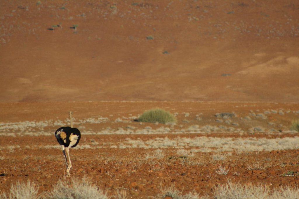 An Ostrich running through the bush