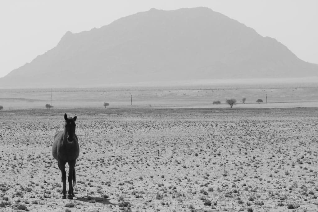 A namibian wild horse with a mountain in the distance