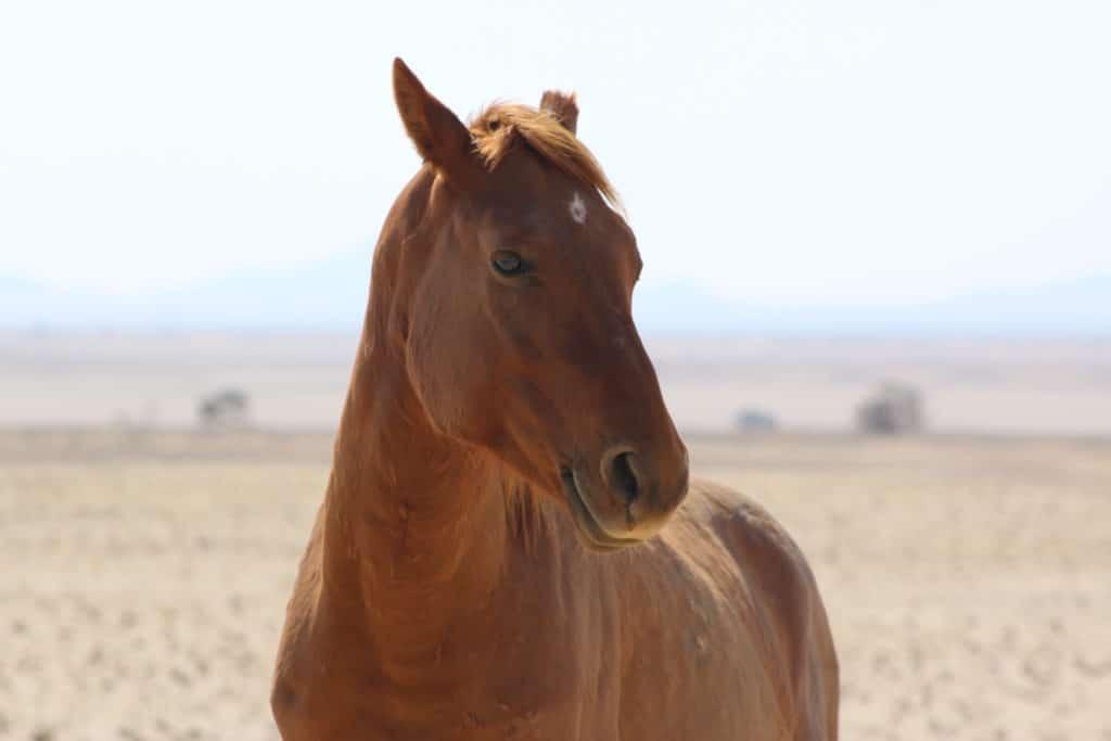 A wild Namibian horse up close