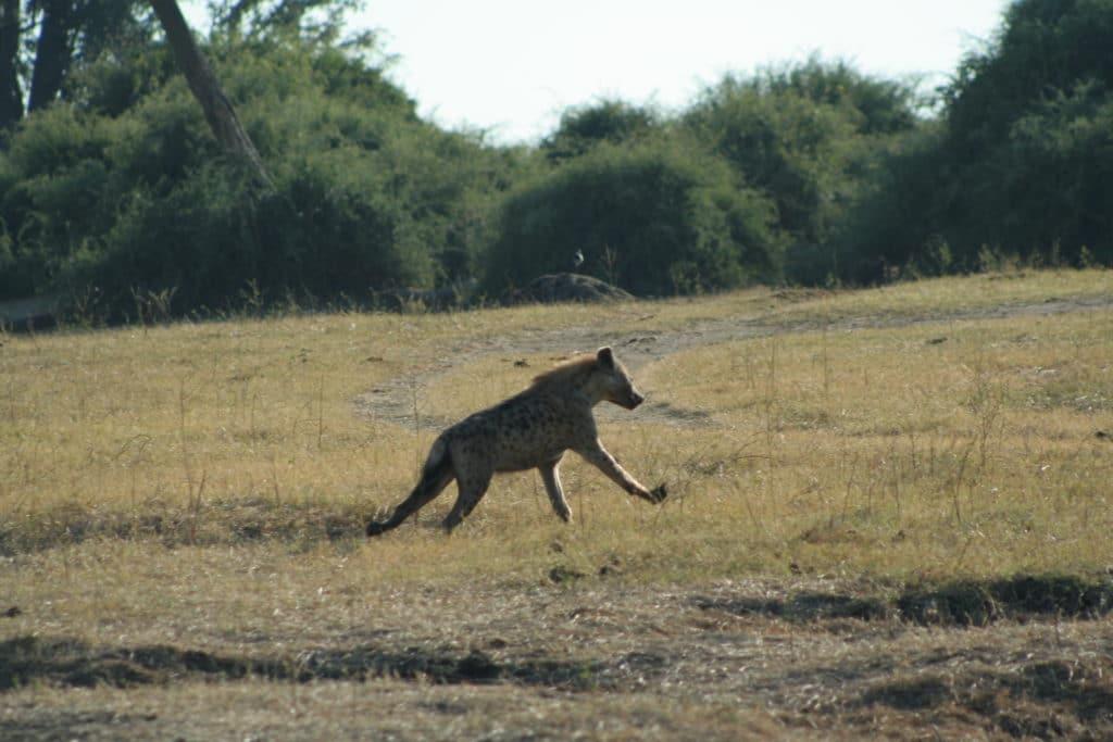 Hyena sprinting through botswana